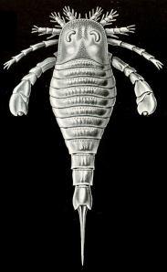 Eurypterus Tetragonophthalm. (A sea scorpion).