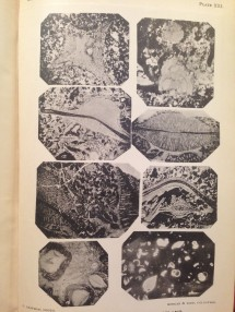 Photos of Formamniferal Limestone on Christmas Island, taken from 'A Monograph of Christmas Island' by Charles W. Andrews, published in 1900.
