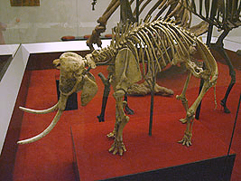 A skeleton of the Cretan Dwarf Elephant (Mammuthus creticus).