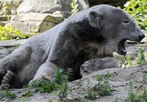 Pizzly Bear