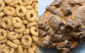 Crinoids and cheerios. The resemblance is uncanny.