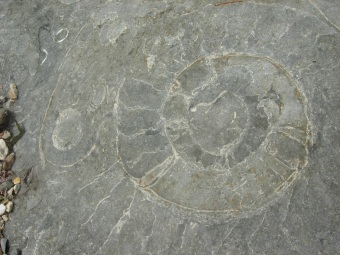Ammonite Fossil, Credit: Anthea Lacchia