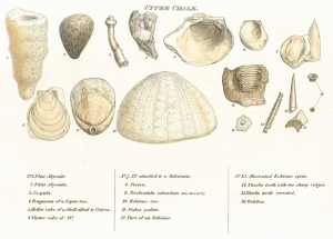 Smith's Fossils of the Upper Chalk