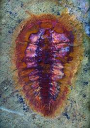 The oldest representative of the cheloniellid arthropods, which range to the Devonian. c. Peter Van Roy