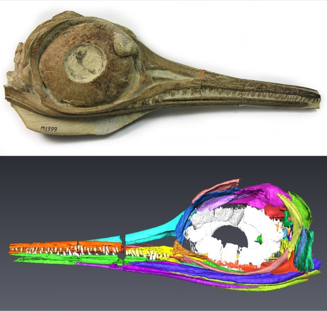 The skull of a juvenile ichthyosaur, Hauffiopteryx typicus and a model made from data gathered through X-Ray micro CT. Credit: to Bath Royal Literary and Scientific Institution