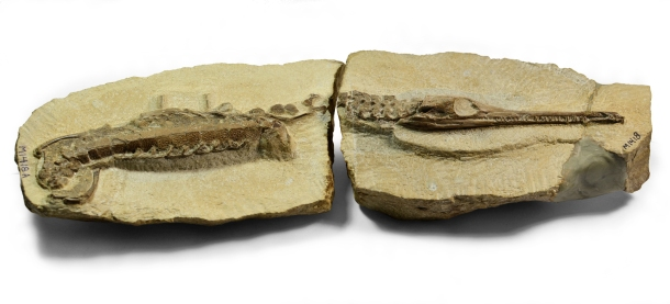 Infant crocodile, 26cm long. Credit: Bath Royal Literary and Scientific Institution