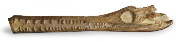 larger juvenile crocodile skull of the same species and about as long as the whole infant specimen. Credit: Bath Royal Literary and Scientific Institution