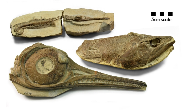 infant Pelagosurus crocodile (top), a Pachycormus fish (middle), and the skull of an ichthyosaur (Hauffiopteryx typicus , bottom) Credit: Bath Royal Literary and Scientific Institution.