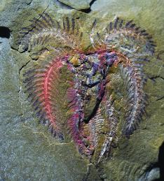 A marrellomorph arthropod, probably belonging to the genus Furca. c. Peter Van Roy