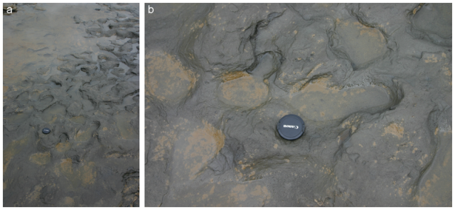 Photographs of Area A at Happisburgh. a. Footprint surface looking north-east. b. Detail of footprint surface. Photos: Martin Bates. (Wikipedia)