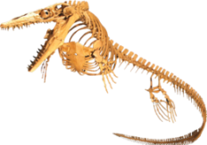Mounted skeleton of a plioplatecarpine (Plesioplatecarpus planifrons), Rocky Mountain Dinosaur Resource Center