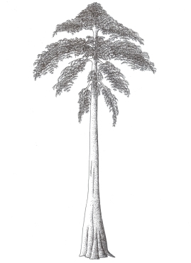 Reconstruction of Archaeopteris - one of the first trees to evolve. Not quite the Christmas tree we know and love!