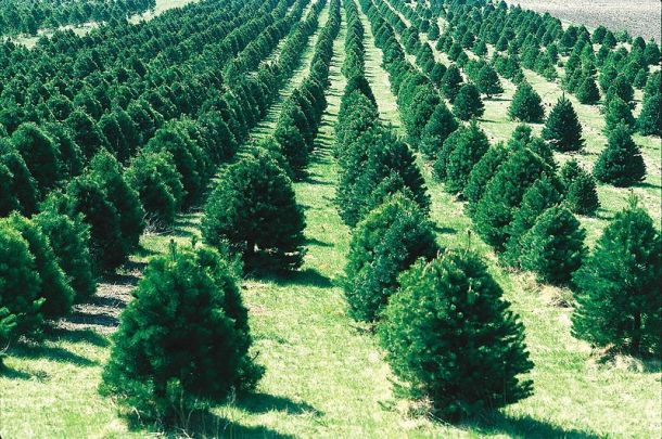 christmas_tree_farm_ia