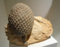 Fossil conifer cone of Jurassic age